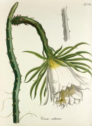 'Cereus setaceus'