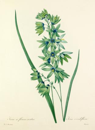 Ixia à fleurs vertes : Ixia viridiflora