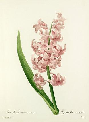 Jacinthe d'orient varieté rose : Hyacinthus orientalis