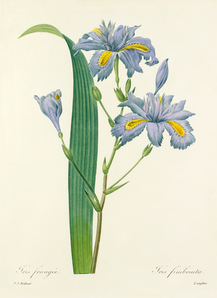 Iris frangée : Iris fimbriata