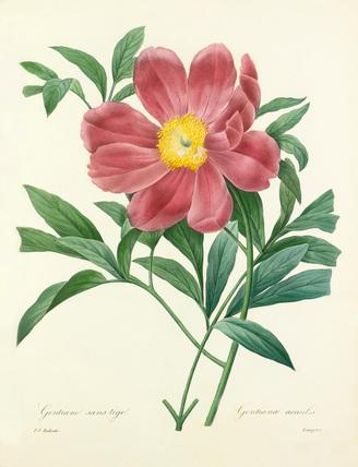 Pivoine officinale a fleurs simples : Paeonia officinalis Mas