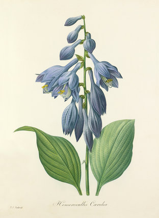 Hemerocallis Caerulea