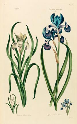 'Iris'