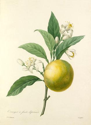 Oranger à fruits déprimés