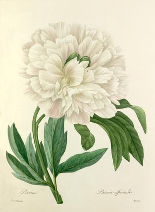 Pivoine : Paeonia officinalis