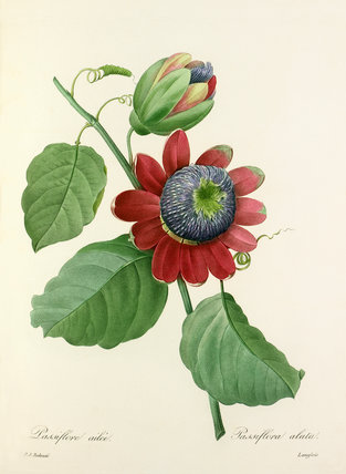Passiflore ailée : Passiflora alata