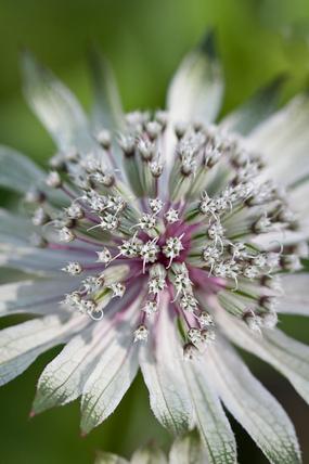 Astrantia major subsp. involucrata 'Moira Reid'