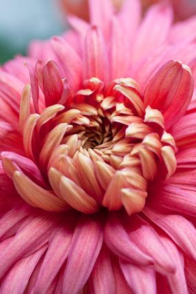 Chrysanthemum 'Bronze Mayford Perfection'