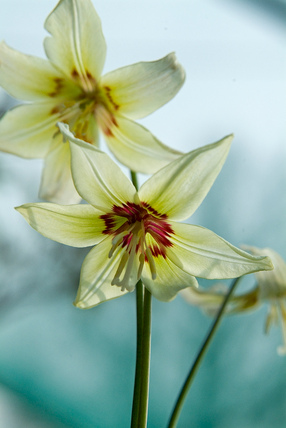 Erythronium 'Diana Chappell'