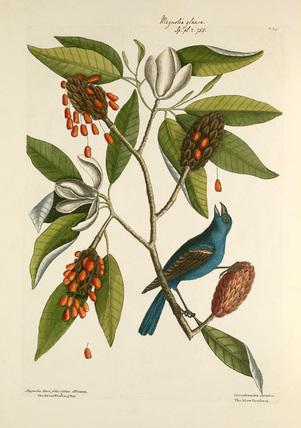 'Magnolia lauri folio subtus albicante, Sweet Flowering Bay / Coccothraustes coerulea, The Blew Grosbeak'