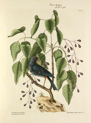 'Coccothraustes purpurea, The Purple Gross-beak / Toxicodendron folys alatis'