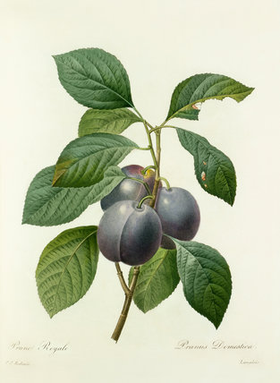 Prune Royale : Prunus Domestica