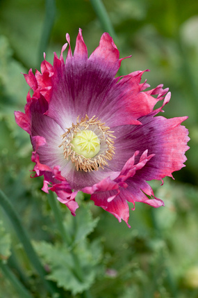 Papaver somniferum