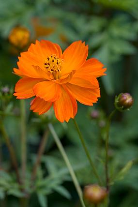 Cosmos sulphureus Ladybird Series