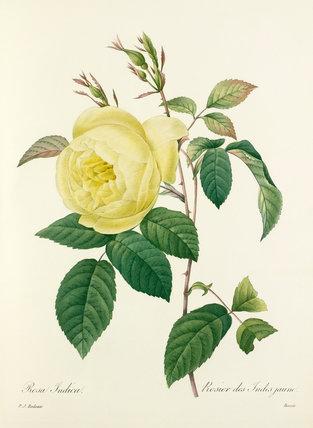 Rosa Indica : Rosier des Indes jaune