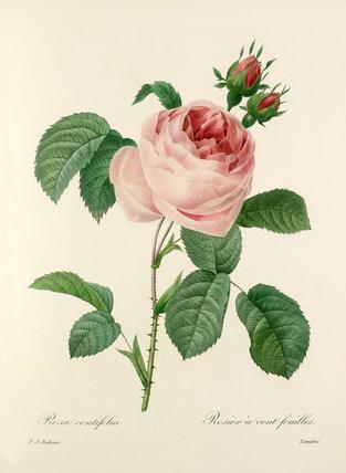 Rosa centifolia : Rosier à cent feuilles