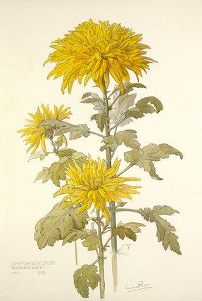 Chrysanthemum 'December Gold'