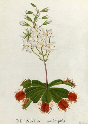 'Dionaea muscipula, Venus Fly-Trap'