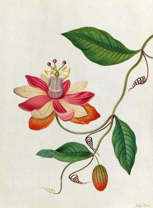 'Monier's Passion Flower'