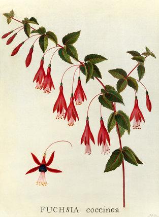 'Fuchsia coccinea'