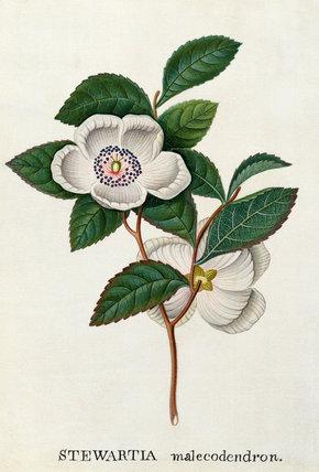 'Stewartia malecodendron'