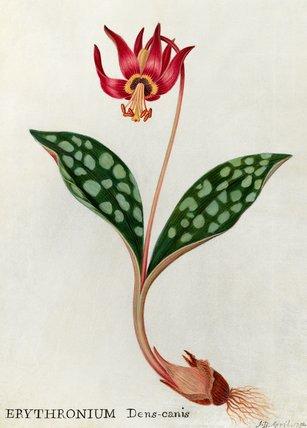 'Erythronium Dens-canis'