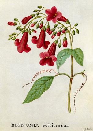 'Bignonia echinata, Hedge-hog Trumpet Flower'