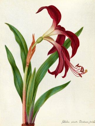 'Jacobean Lily'