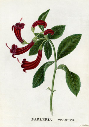 'Barleria recurva, Barleria with curved flowers'