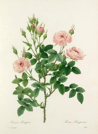 Rosier Pompon : Rosa Pomponia