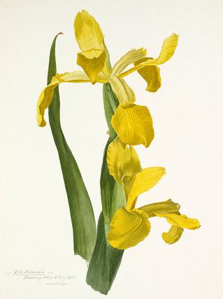 'Iris monneri'