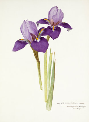 'Iris unigularis'