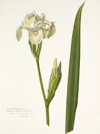 'Iris acoroformis'