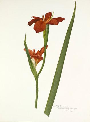 'Iris cuprea'