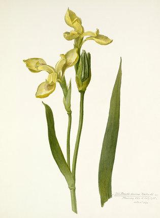 'Iris pseudo acorus bastardi'