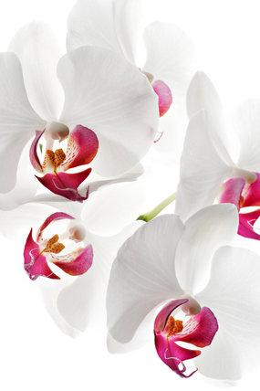 Phalaenopsis 'Heart Breaker'