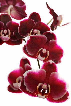 Doritaenopsis I-Hsin Black Jack