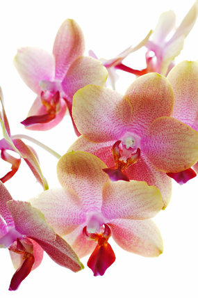 Phalaenopsis Brother Sara Gold