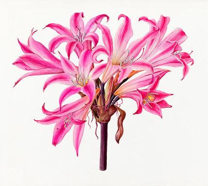 'Amaryllis belladonna rubra'