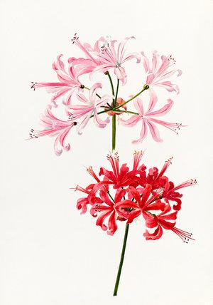 Nerine bowdenii 'Pallida'