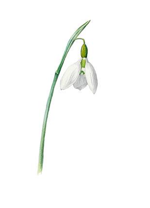 'Galanthus elwesii'