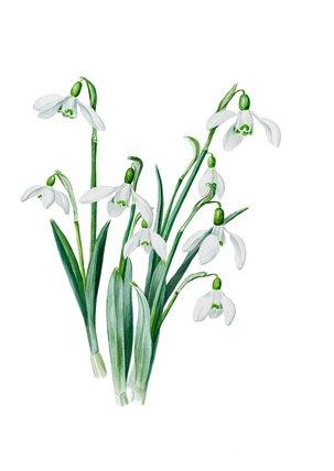 'Galanthus caucasicus grandis'