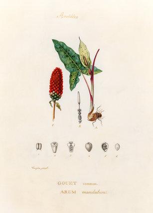 'Aroidées. Gouet commun. Arum maculatum'