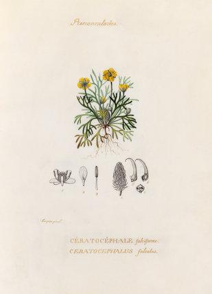 'Renonculacées. Cératocéphale falciforme. Ceratocephalus falcatus'
