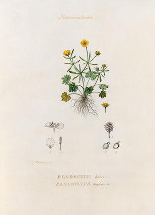'Renonculacées. Renoncule dorée. Ranunculus auricomus'
