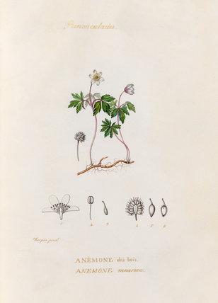 'Renonculacées. Anémone des bois. Anemone nemerosa'