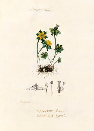 'Renonculacées. Eranthe d'hiver. Eranthis hyemalis'