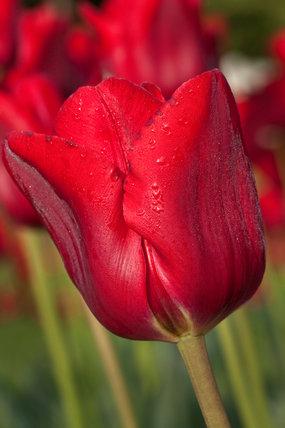 Tulipa 'Bastogne'