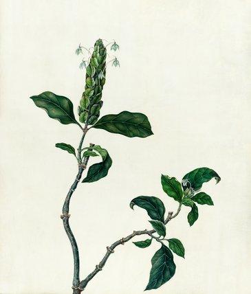 Aphelandra sp.