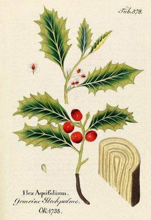 'Ilex aquifolium'